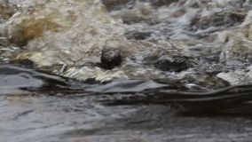 Dipper, Cinclus, dipping, bobbing and fishing on the river lossie in elgin, moray, scotland in march. Bird, passerine stock footage