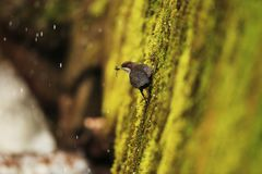 Dipper collect material for build the nest. On coast of creek Royalty Free Stock Photo