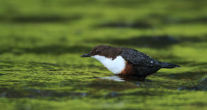 Dipper on Green. A Dipper (Cinclus cinclus) feeds in the water of a river stock image