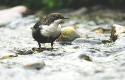Dipper moves down the river Stock Photography