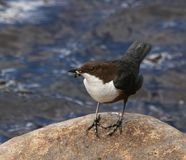 Dipper On Rock By River In Scotland Stock Photography