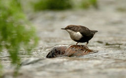 Dipper on a rock in the river Royalty Free Stock Photo