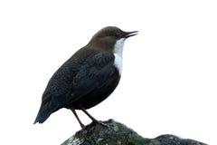 Dipper se tenant sur une petite roche, dans la rive, pendant la saison d'hiver, VOSGES, Frances Photos libres de droits