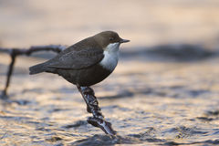 Dipper standing on a small branch, in the riverbank, during winter season, Vosges, France Royalty Free Stock Image