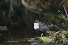 Dipper standing on a small rock, in the riverbank Royalty Free Stock Photography