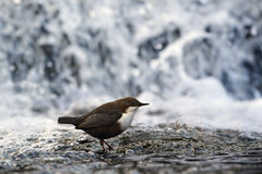 Dipper standing on a small rock, in the riverbank Royalty Free Stock Photos