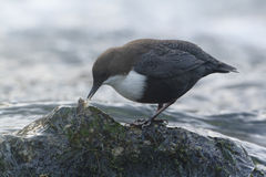 Dipper standing on a small rock, in the riverbank, during winter season, Vosges, Franc Stock Photos