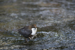 Dipper standing on a small rock, in the riverbank, during winter season, Vosges, France Stock Image