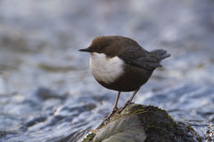 Dipper standing on a small rock, in the riverbank, during winter season, Vosges, France Royalty Free Stock Images