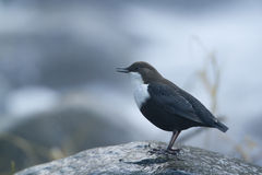 Dipper standing on a small rock, in the riverbank, during winter season, Vosges, France Royalty Free Stock Image