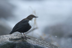 Dipper standing on a small rock, in the riverbank, during winter season, Vosges, France Stock Photo