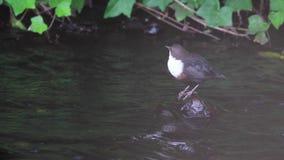 Dipper vogel, Cinclus, die op en neer op een steen langs een rivier, Schotland in augustus bobbing stock videobeelden