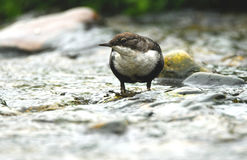Dipper in the water Stock Photo
