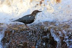 Dipper in waterval stock foto's