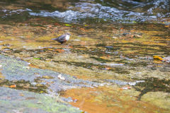 Dipper (Cinclus cinclus) hunting for larvae in fast flowing Wels Stock Photos