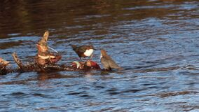 2 Dippers, Cinclus, dipping, bobbing on the river lossie in elgin, moray, scotland in march. 2 Dippers, Cinclus, dipping, bobbing and fishing on the river lossie stock video footage
