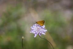 Dipsacaceae kwitnie makro- Obraz Royalty Free