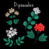 Dipsacales plant order Royalty Free Stock Photography