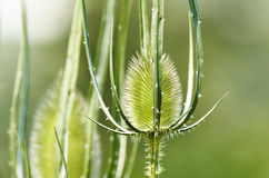 Dipsacus fullonum Royalty Free Stock Photo