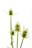 Dipsacus fullonum Stock Photo