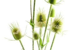 Dipsacus fullonum Stock Photography