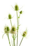 Dipsacus fullonum Royalty Free Stock Images