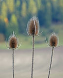 Dipsacus laciniatus, cutleaf teasel trio. Dipsacus laciniatus is a species of flowering plant in the honeysuckle family known by the common name cutleaf teasel Stock Images