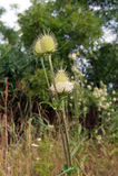 The Dipsacus laciniatus Stock Photo