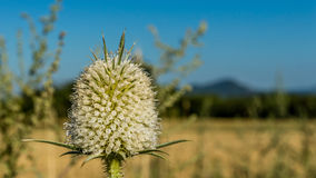 Dipsacus laciniatus. Is a species of flowering plant in the honeysuckle family known by the common name cutleaf teasel. It is native to Europe and Asia. It is Stock Photos
