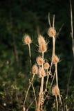 Dipsacus sativus alla Banca dell'ustione fotografia stock libera da diritti