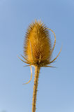 Dipsacus Sativus. A dried flower Dipsacus Sativus in nature stock photos