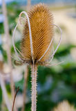 Dipsacus Sativus. A dried flower Dipsacus Sativus in nature stock image