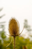 Dipsacus Sativus. A dried flower Dipsacus Sativus in nature Royalty Free Stock Photos