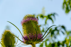 Dipsacus Sativus. A dried flower Dipsacus Sativus in nature Royalty Free Stock Photo