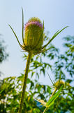 Dipsacus Sativus. A dried flower Dipsacus Sativus in nature Royalty Free Stock Images