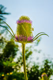 Dipsacus Sativus. A dried flower Dipsacus Sativus in nature Stock Photography