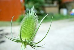 Dipsacus or teasel. Royalty Free Stock Image