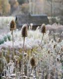 Dipsacusfullonum- eller kardtistelväxter på soluppgång Royaltyfria Bilder