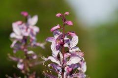 Diptam rosado (albus del Dictamnus) en el jardín Fotos de archivo libres de regalías
