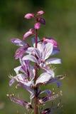 Diptam rosado (albus del Dictamnus) en el jardín Imagen de archivo