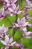 Diptam rosado (albus del Dictamnus) en el jardín Foto de archivo libre de regalías