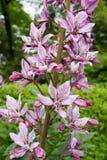 Diptam rose (albus de Dictamnus) dans le jardin Images stock