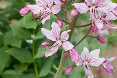 Diptam rose (albus de Dictamnus) dans le jardin Photographie stock