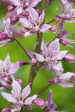Diptam rose (albus de Dictamnus) dans le jardin Photo libre de droits