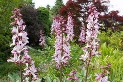 Diptam rose (albus de Dictamnus) dans le jardin Photographie stock libre de droits