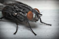 Diptera Brachycera House Fly Stock Photo
