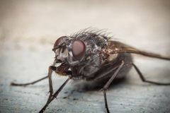 Diptera Brachycera House Fly Royalty Free Stock Images