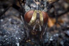Diptera Brachycera House Fly Royalty Free Stock Image