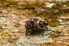 Diptera flies Royalty Free Stock Photo