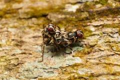 Diptera flies Royalty Free Stock Photos